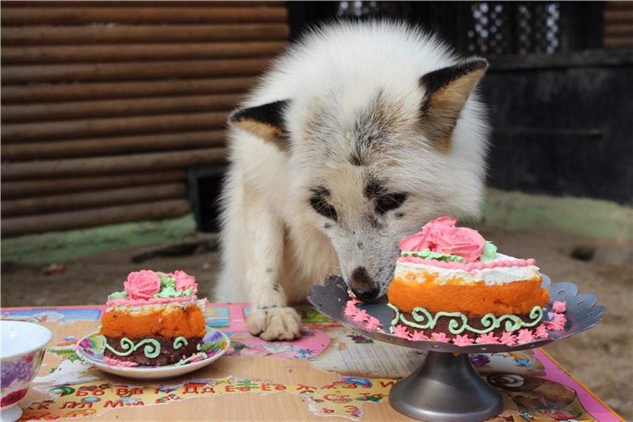 ВКрасноярске лисица «поработала» сурком ипредсказала, что весна придет поздно