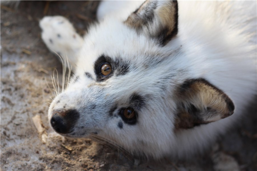 Вкрасноярском зоопарке лиса предсказала весну вместо сурка