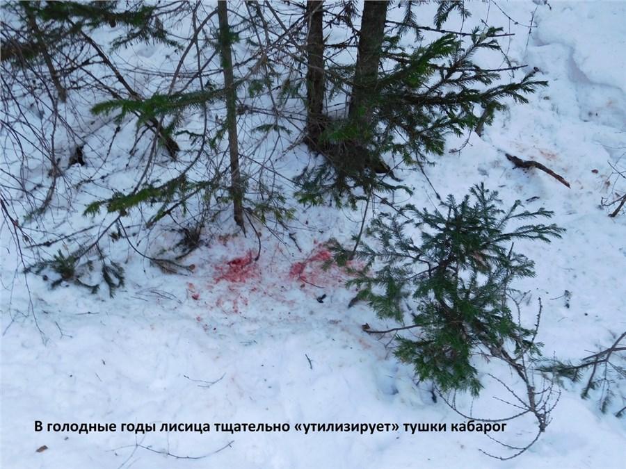Вконце зимнего периода на«Столбах» пересчитали лисиц, волков иоленей