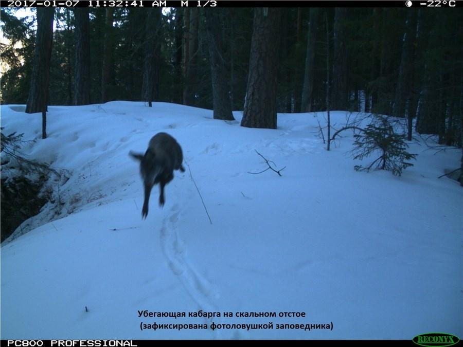 Вфеврале на«Столбах» пересчитали лисиц, волков иоленей