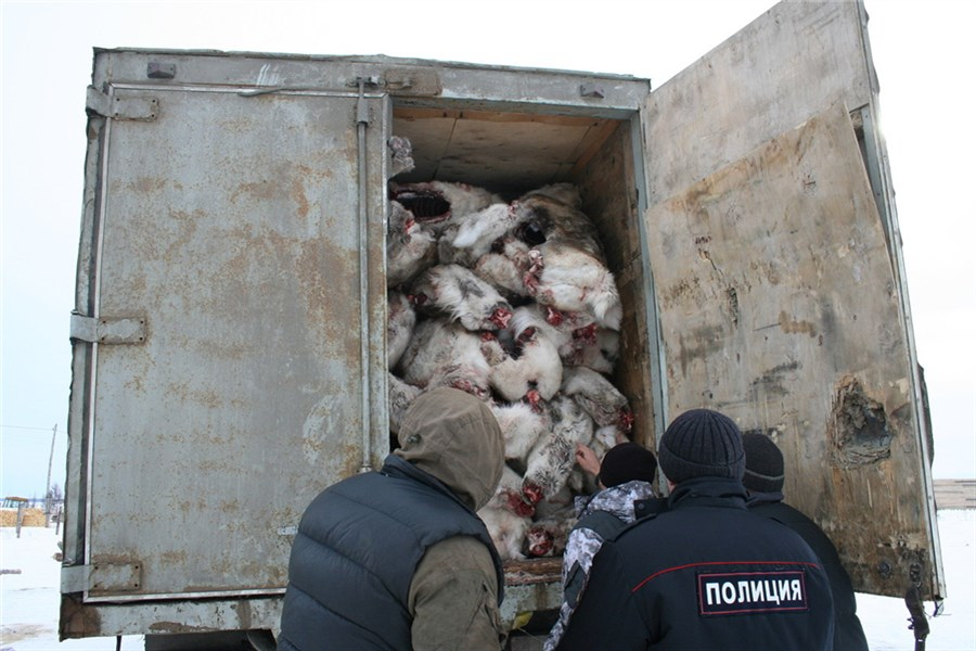 ВКрасноярском крае браконьеры убили 20 тысяч северных оленей