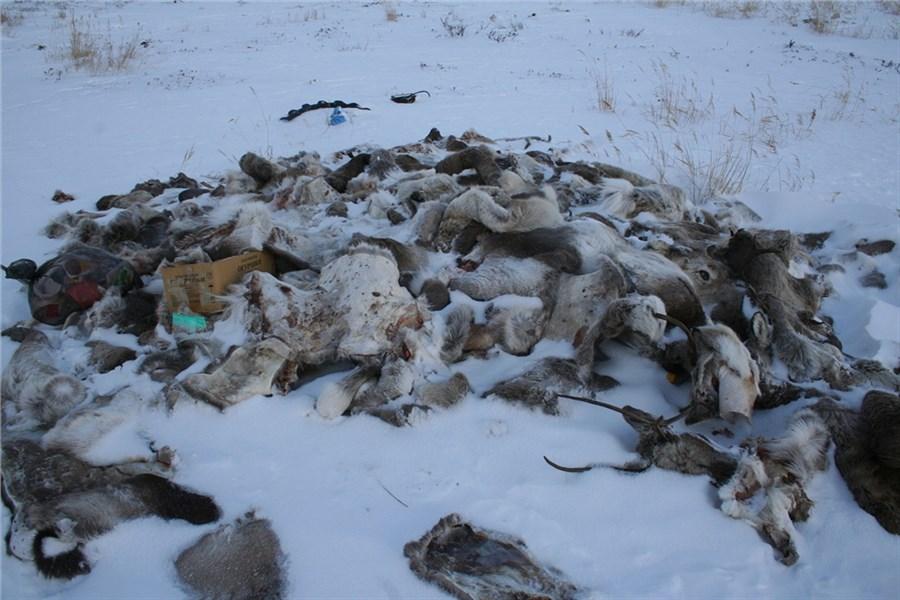 Самые большие кучи туш цинично убитых оленей обнаружили защитники природы насевере