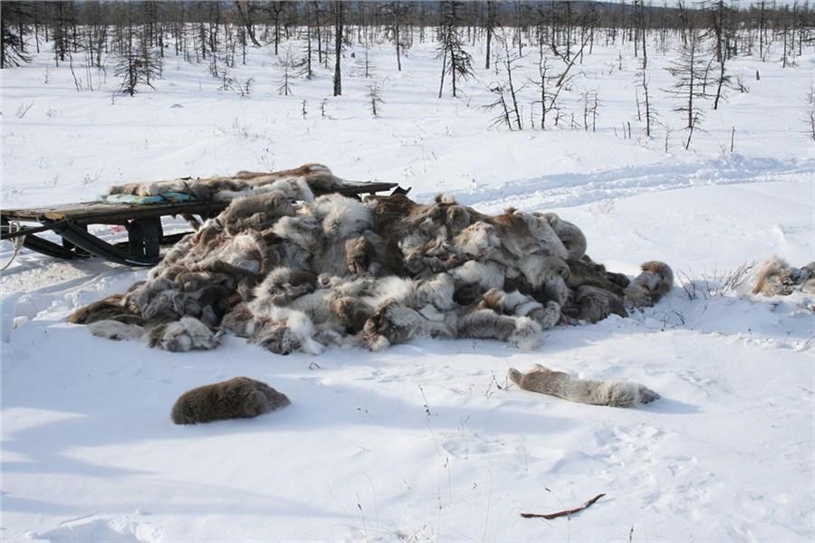 «Настоящая бойня»: оцинизме охотящихся заоленями браконьеров поведали экологи