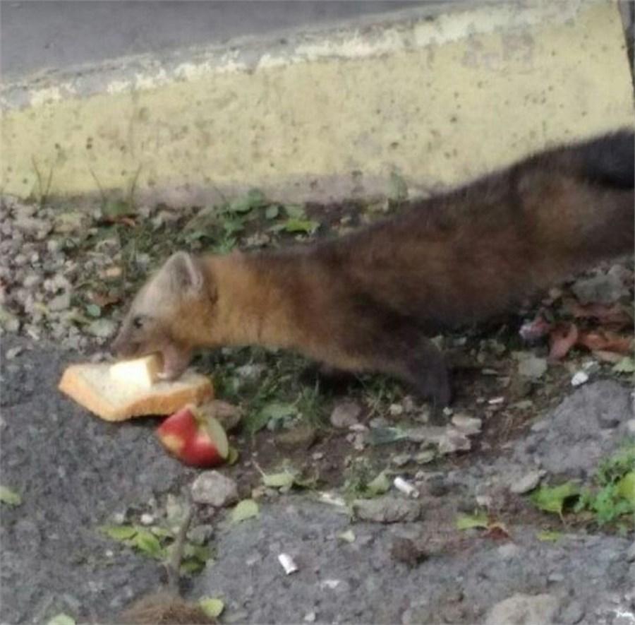 Голодный соболь вышел клюдям вКрасноярске