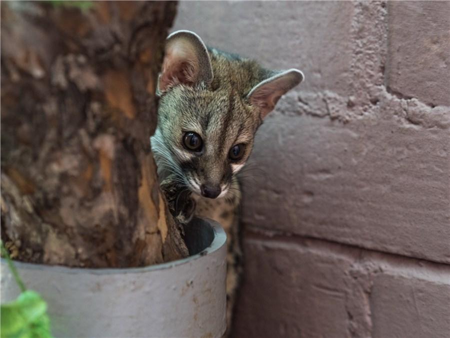 Котята генетт вКрасноярском парке «Роев ручей» переехали отродителей