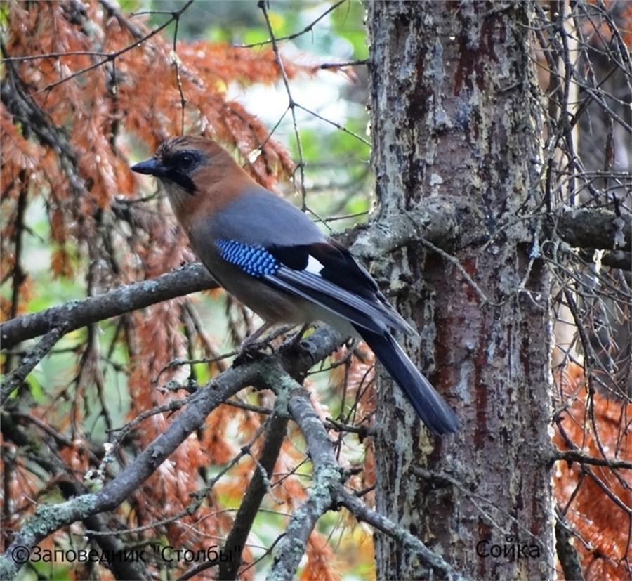 птицы красноярска фото и названия купить