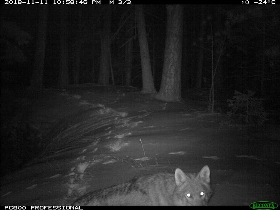 Волк на фотоловушке